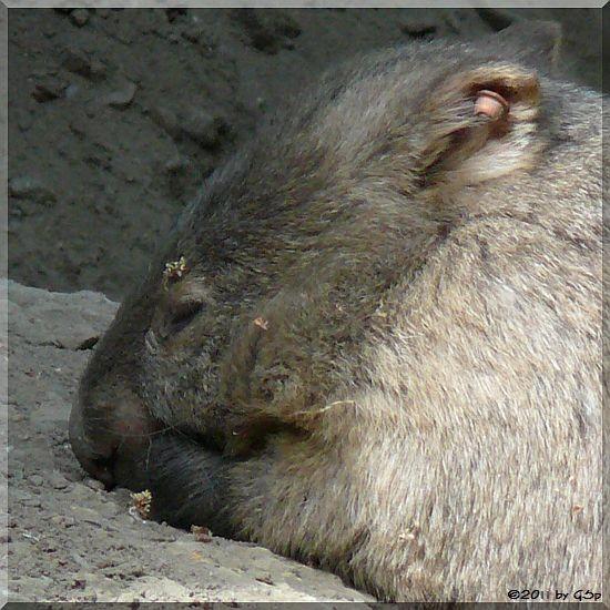 Nacktnasen-Wombat