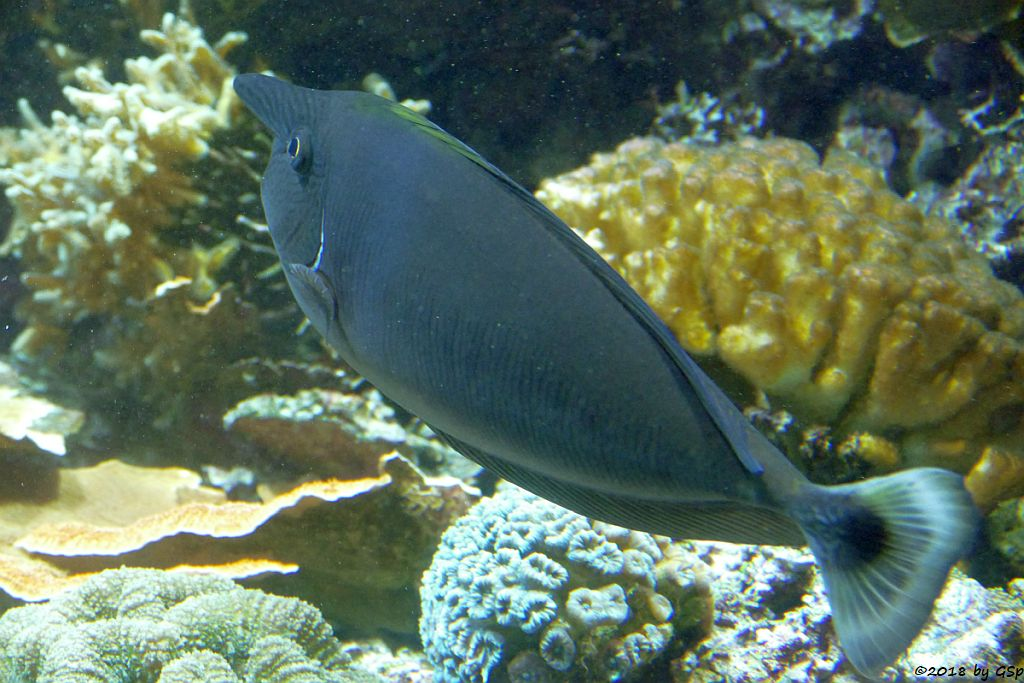 Schärpen-Nasendoktorfisch (Langnasen-Doktorfisch, Einhornfisch)