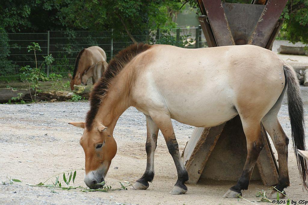 Przewalskipferd (Przewalski-Urwildpferd, Asiatisches Wildpferd), Jungtier geb. am 3.7.17 (3 1/2 Wochen)