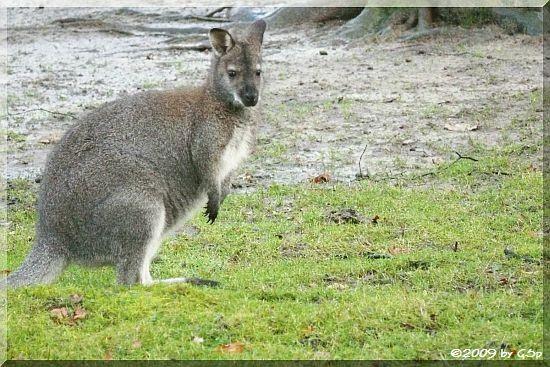 Benett-Känguru