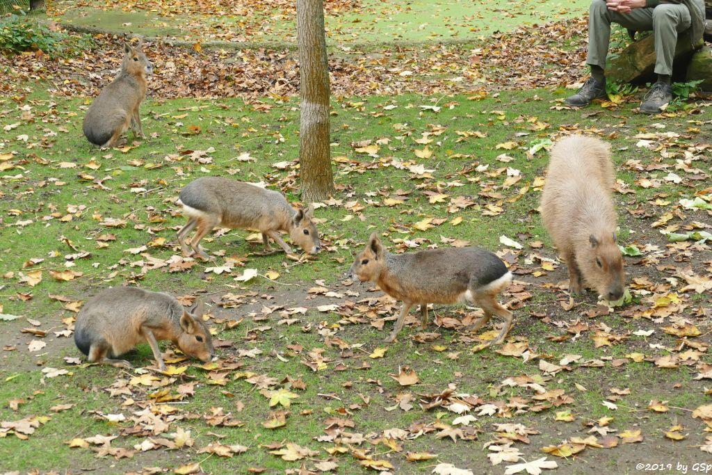 Großer Pampashase (Große Mara, Großer Mara), Wasserschwein (Capybara)