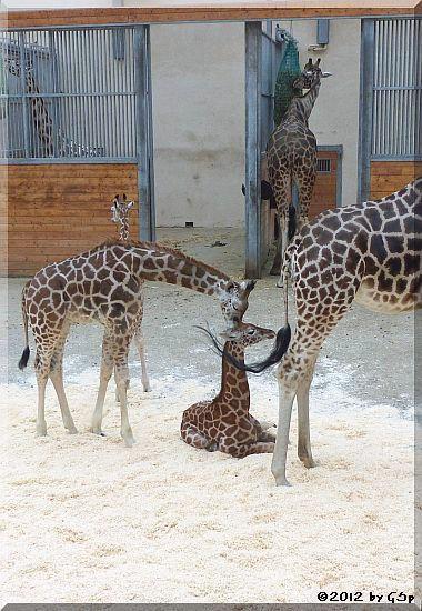 Rothschild-Giraffe MELMAN, davor KALOU und LARA