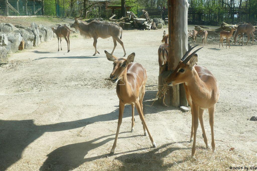 Gewöhnliche Impala (Schwarzfersenantilope), Großer Kudu