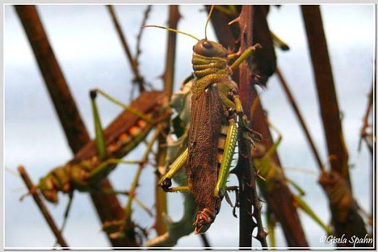 Riesenheuschrecke