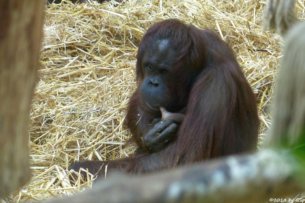 Borneo-Orang-Utan CORI