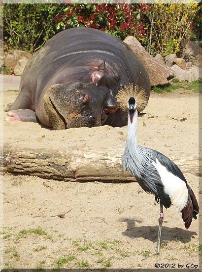 Flusspferd, Kronenkranich