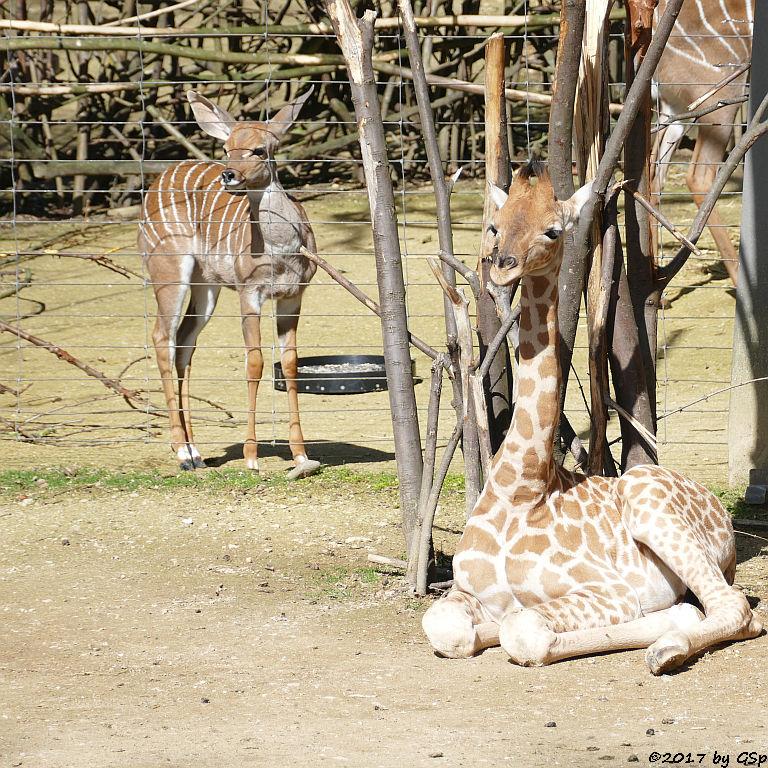 Kleiner Kudu, Kardofan-Giraffe ONONG, geb. am 28.02.17 (3 12 Wo.alt)