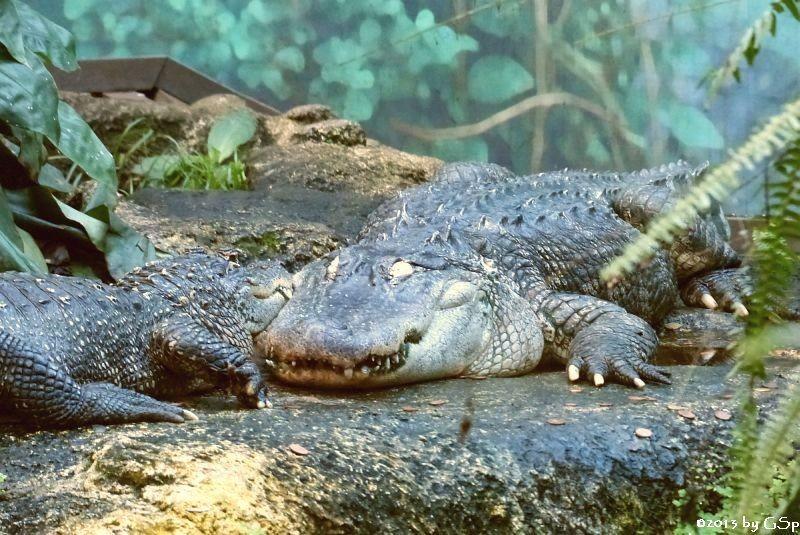 Hecht- (Mississippi-) aligator