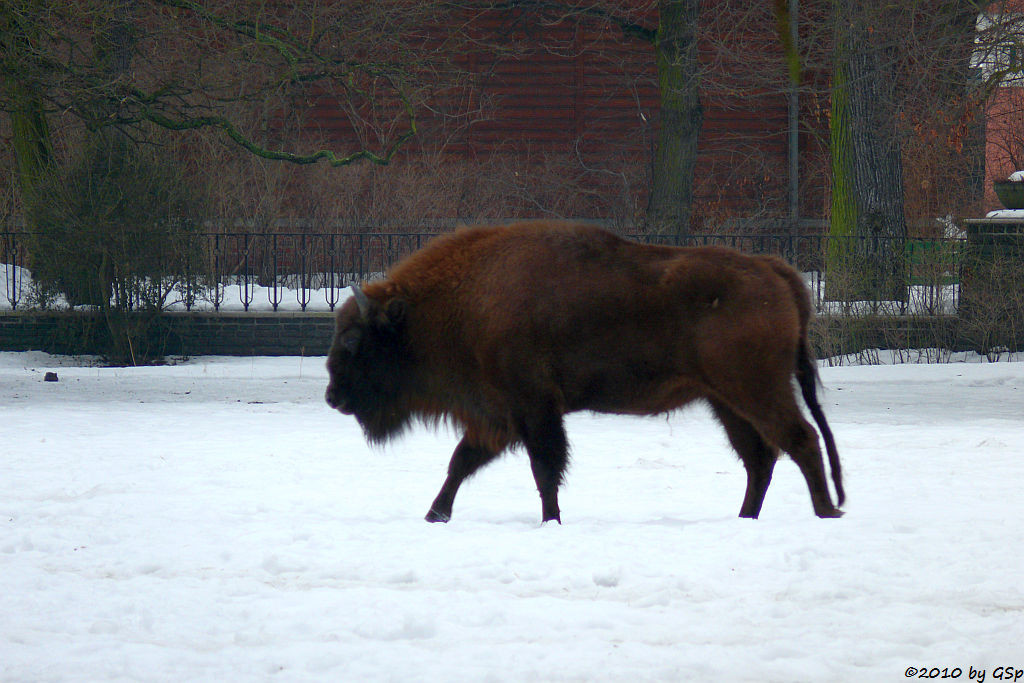 Prärie-Bison