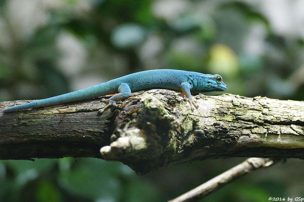 Türkisblauer Zwerggecko (Türkiszwerggecko, Himmelblauer Zwergtaggecko)