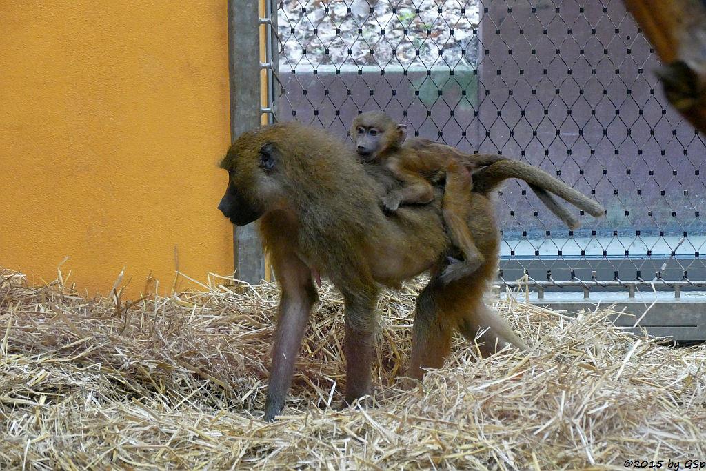 Sphinx-Pavian (Guinea-Pavian, Roter Pavian)
