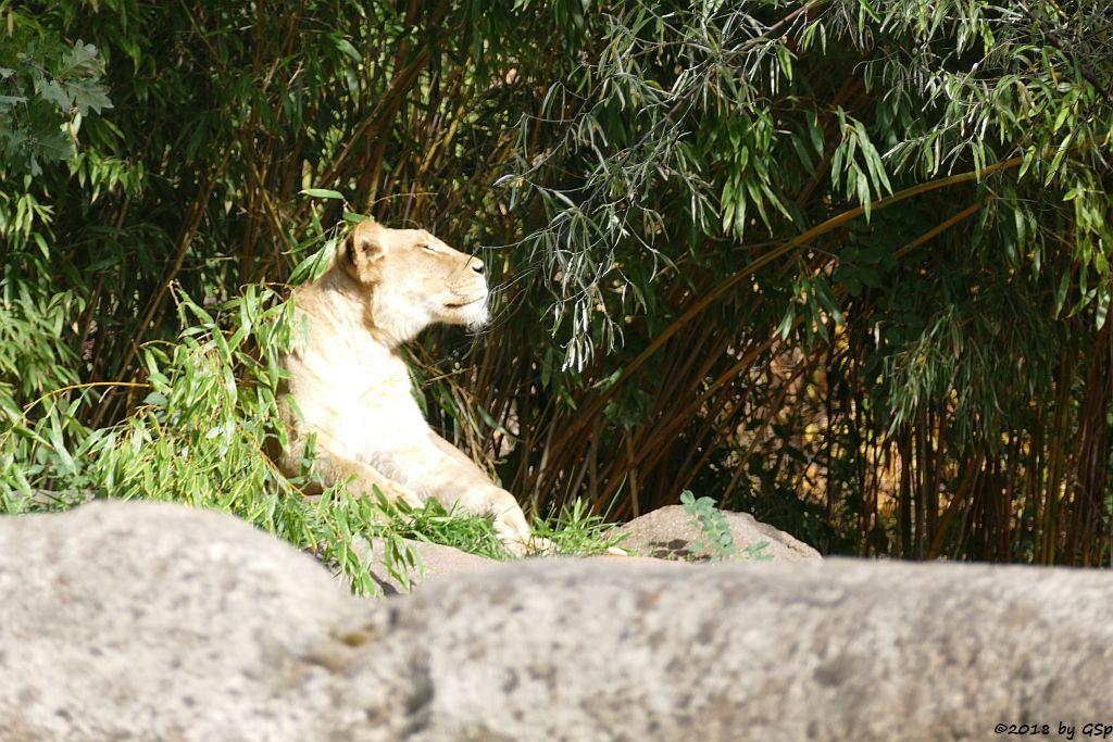 Kalahari-Löwe (Etoscha-Löwe, Wüstenlöwe) KIGALI