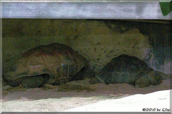 Seychellen- und Galapagos-Riesenschildkröte