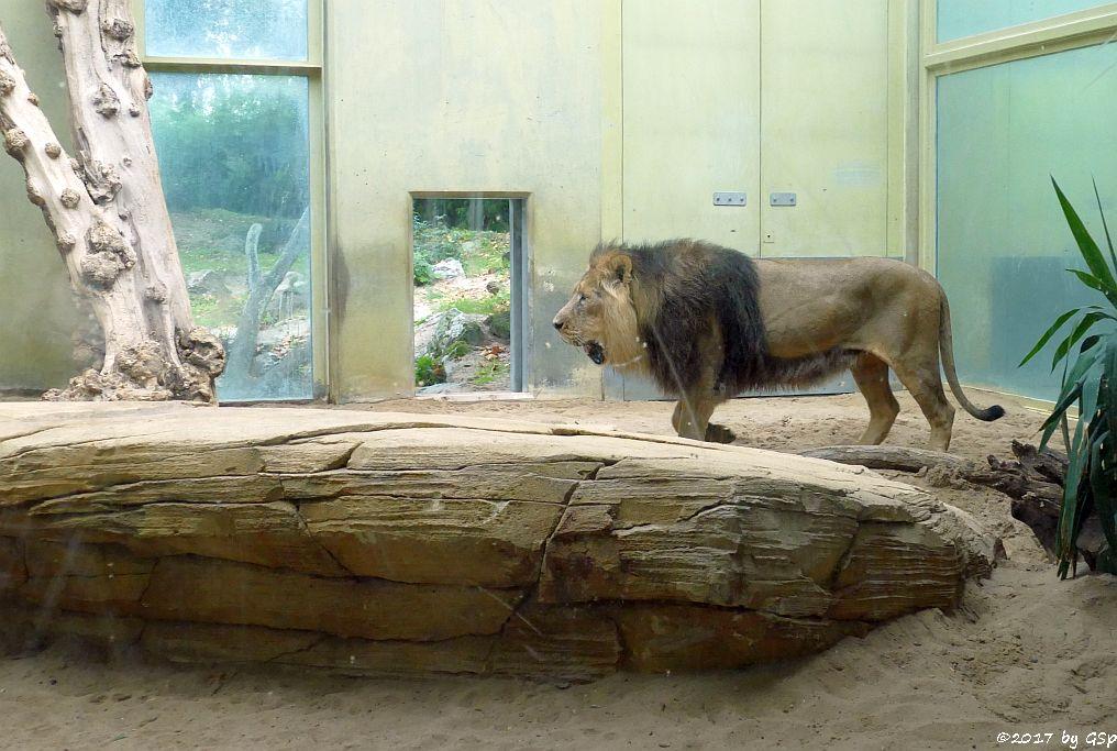 Asiatischer (Indischer) Löwe KUMAR