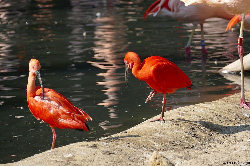 Roter Sichler (Scharlachsichler, Rotibis)
