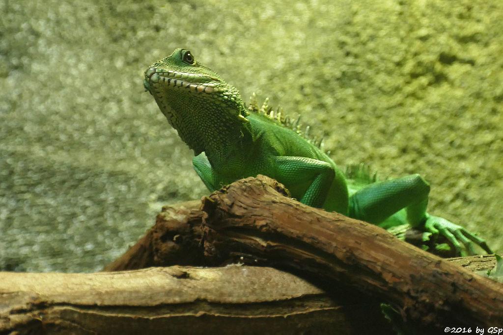 Grüne Wasseragame