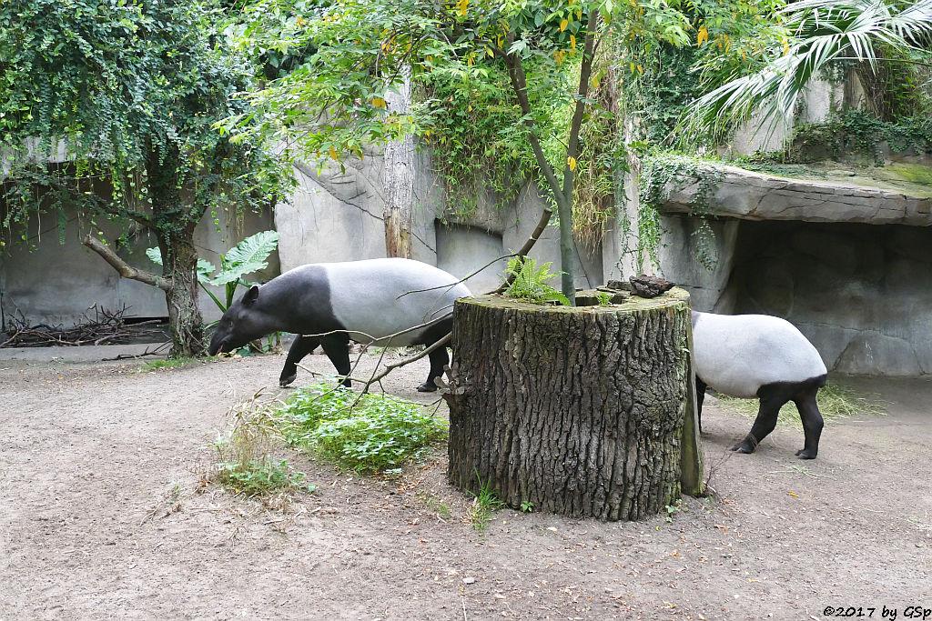 Schabrackentapir (Malaysischer Tapir) LAILA unD KETIGA