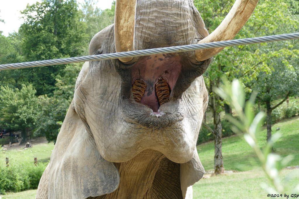 Afrikanischer Elefant ZIMBA