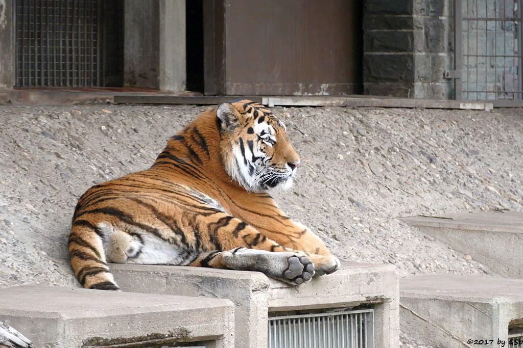Amurtiger (Sibirischer Tiger, Mandschu-Tiger) SERGEAN