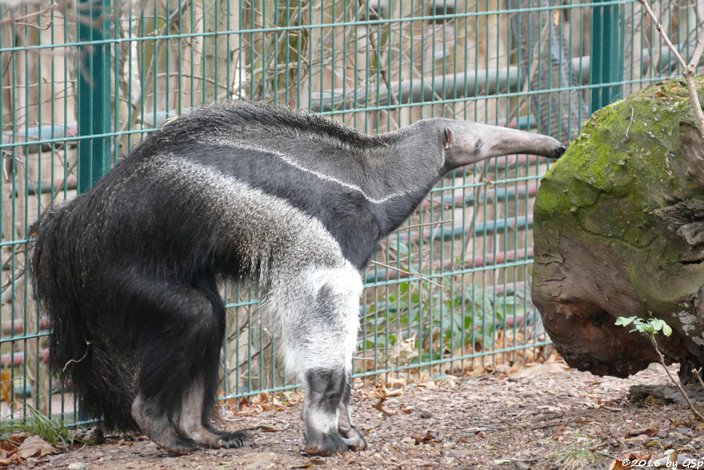 Großer Ameisenbär