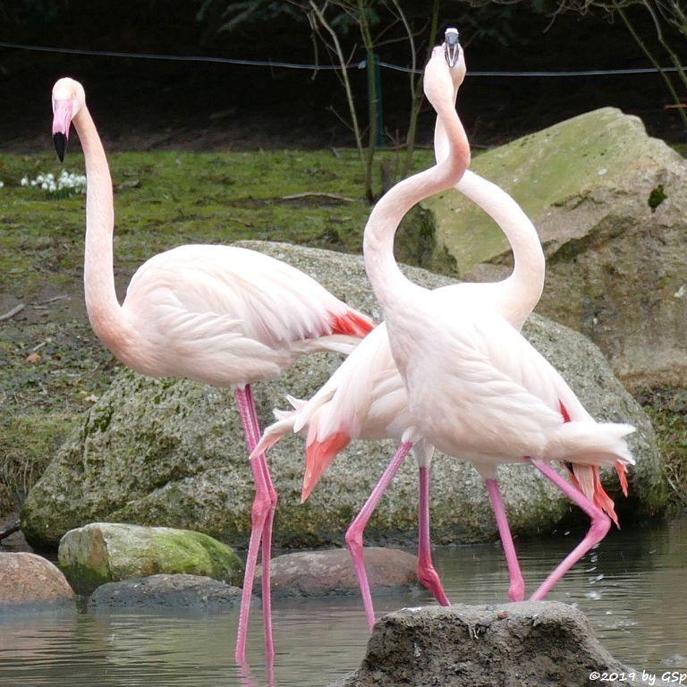 Rosaflamingo (Europäischer Flamingo)