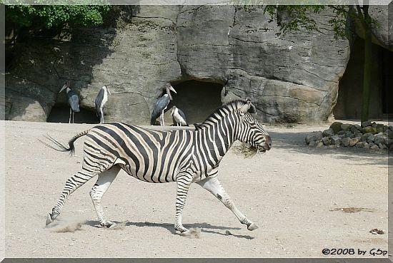Chapman-Zebra, Marabu
