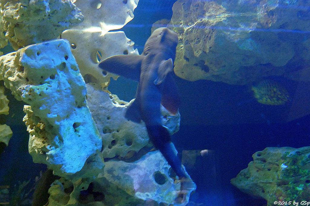 Japanischer Stierkopfhai
