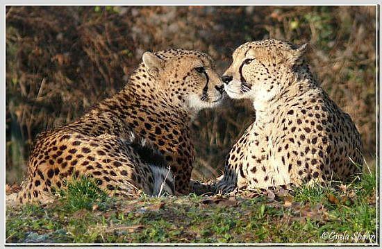 Gepard NELSON und MATATA
