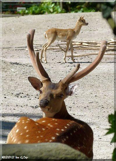 Vietnam-Sika-Hirsch und Hirschziegenantilope