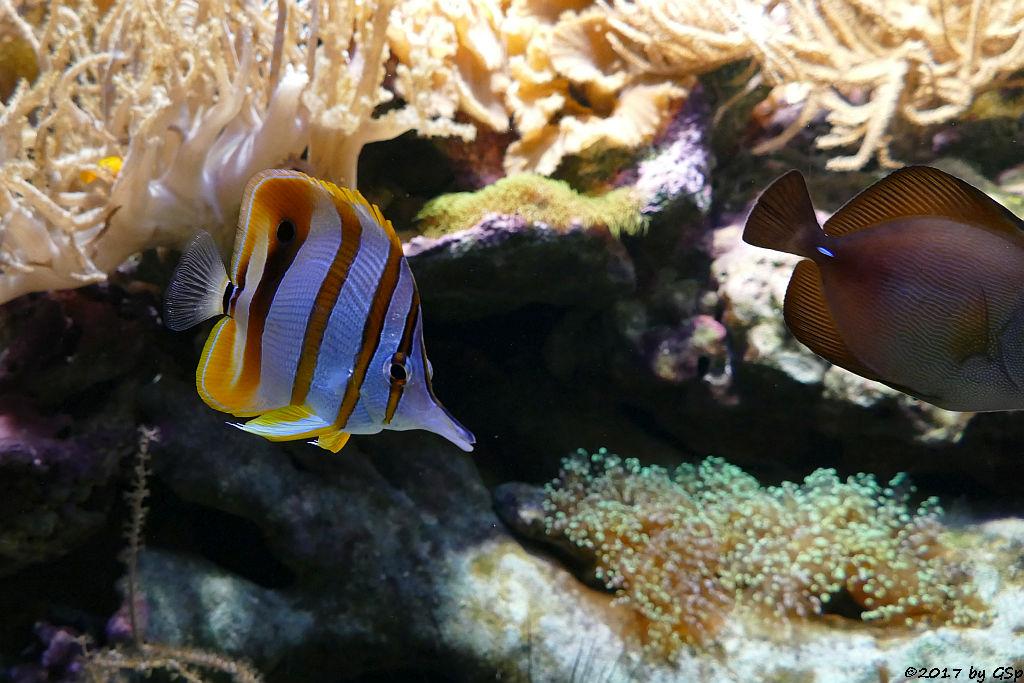 Kupferstreifen-Pinzettfisch (Goldstreifen-Pinzettfisch, Gebänderter Pinzettfisch)