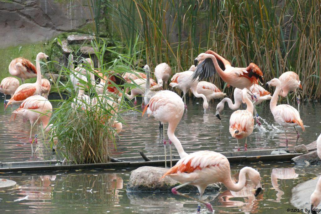 Chileflamingo (Chilenischer Flamingo)