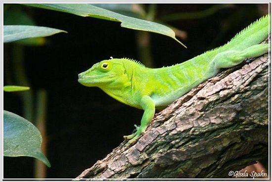 Jamaica-Riesenanolis