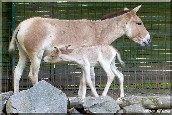 Kulan (Onager, Asiatischer Esel)