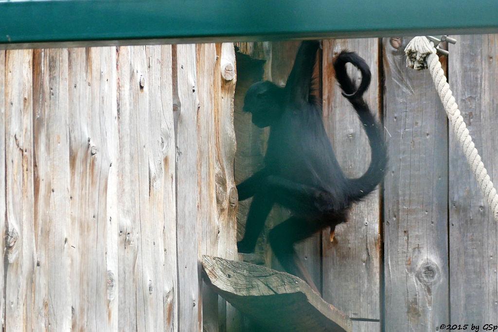 Braunkopfklammeraffe