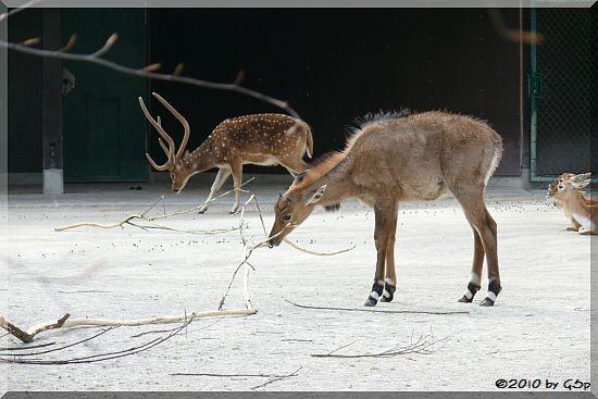 Nilgauantilope und Axishirsch