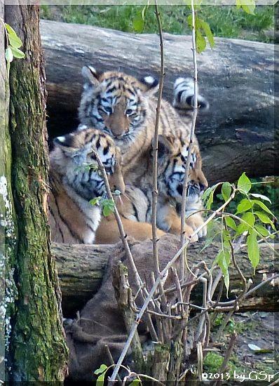 Sibirische Tiger DIMA, DARJA und TARAS, geb.10.8.13