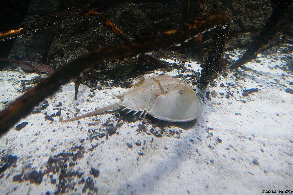 Großer Molukkenkrebs