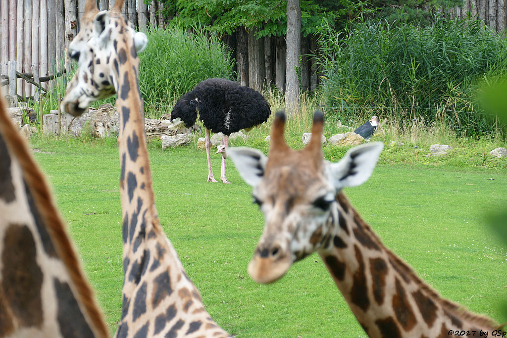 Rothschildgiraffe (Uganda-Giraffe, Baringo-Giraffe), Nordafrikanischer Strauß (Nordafrikanischer Rothalsstrauß)