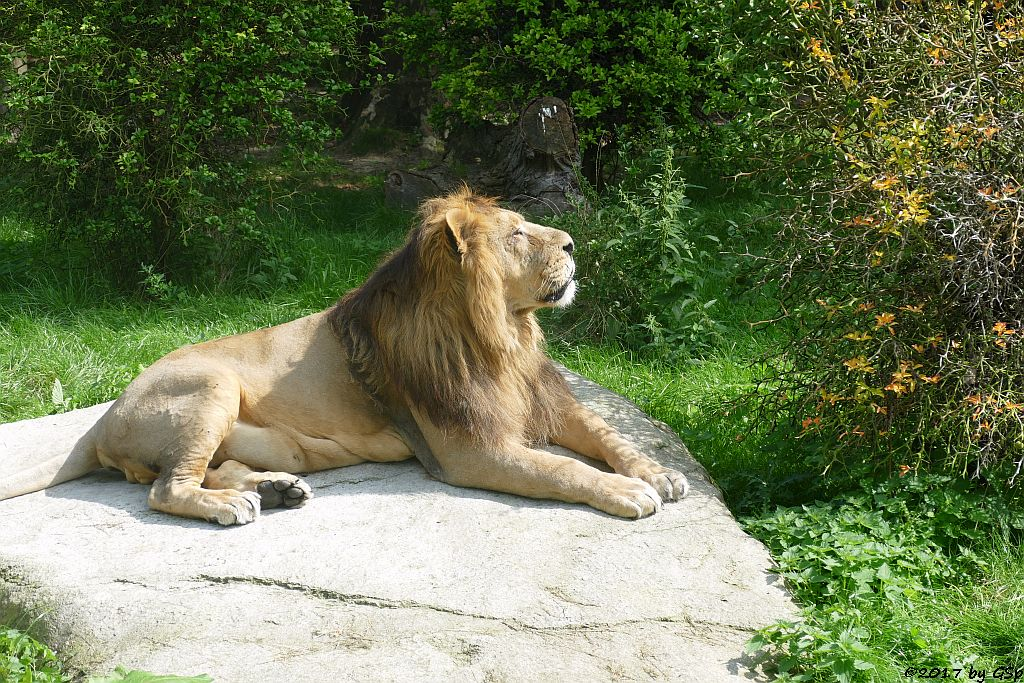 Asiatischer Löwe (Indischer Löwe)