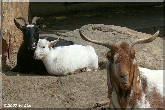 Zwergziegen und Owambo-Ziege