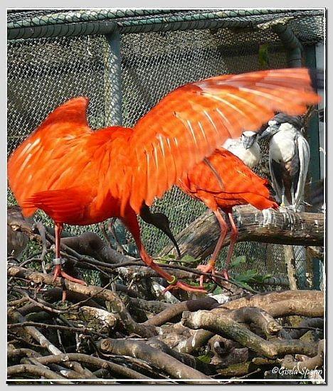 Roter Sichler und Kahnschnabel