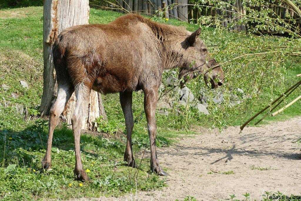 Eurasischer Elch (Europäischer Elch, Nordelch)
