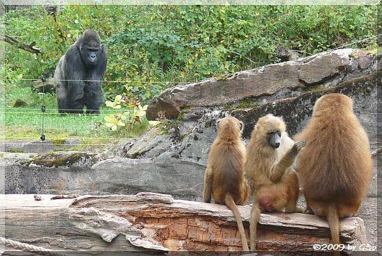 Sphinx-Pavian und Flachland-Gorilla