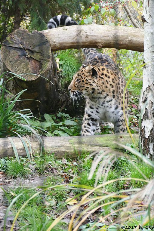 Amurleopard XEMBALO
