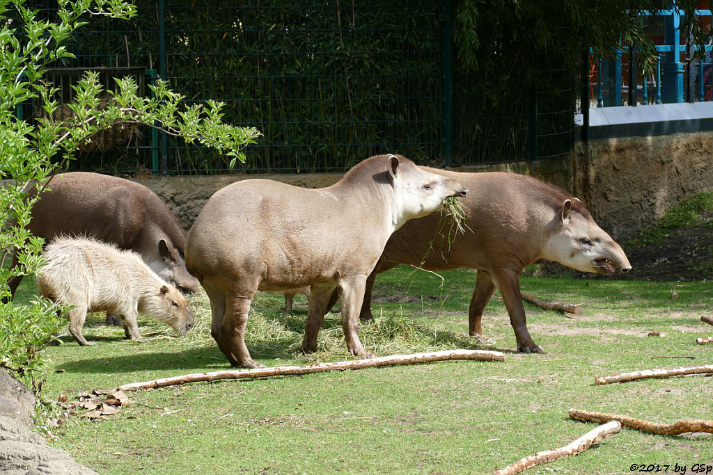 Flachlandtapir, Capybara (Wasserschwein)