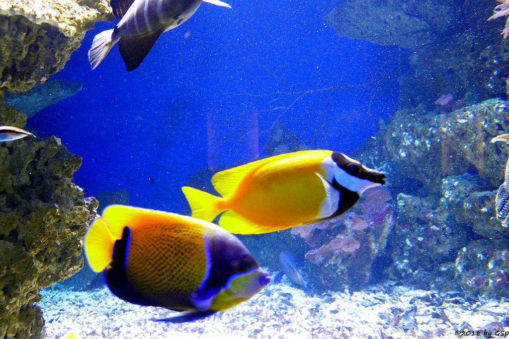 Traumkaiserfisch (Blaugürtel-Kaiserfisch), Gelbes Fuchsgesicht (Gelbes Dachsgesicht)