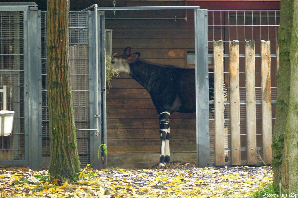 Okapi Kurzhalsgiraffe, Waldgiraffe)