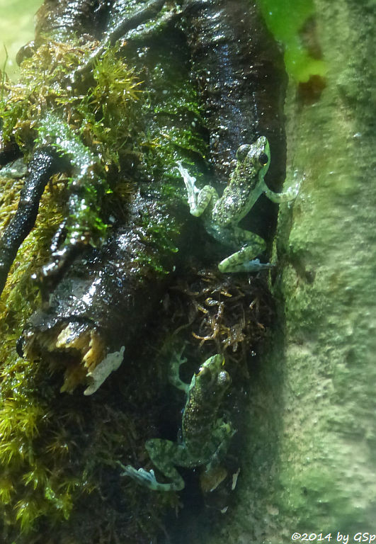 Borneo-Winkerfrosch