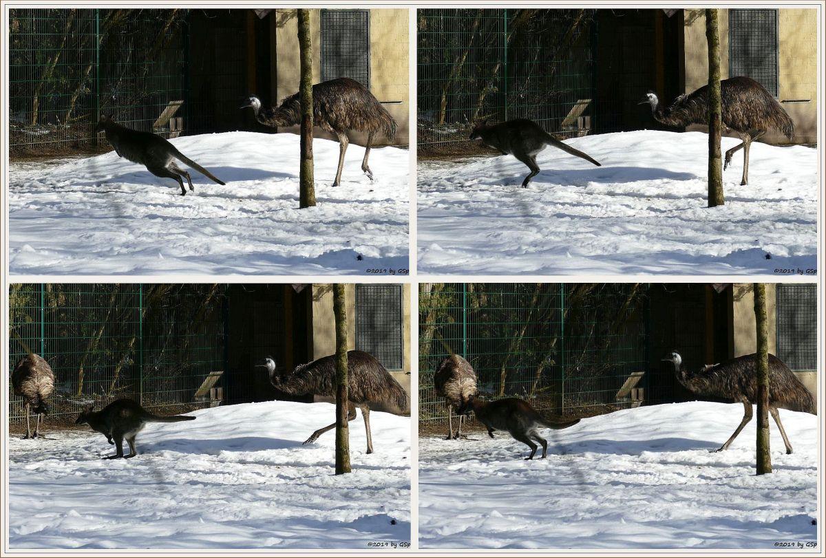 Rotnackenwallaby (Bennettkänguru), Emu (Großer Emu)