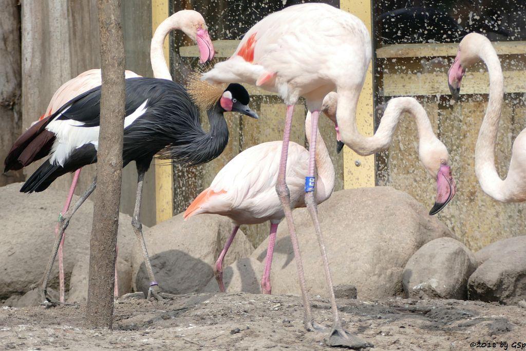 Westafrikanischer Kronenkranich (Schwarzhals-Pfauenkranich), Rosaflamingo (Europäischer Flamingo)